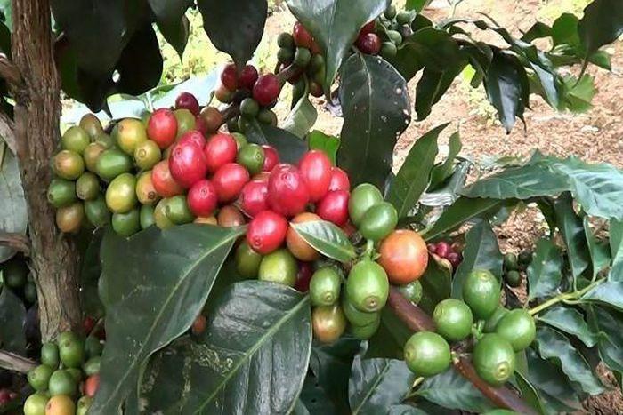 Giá cà phê hôm nay 20/3: Cảnh báo cạn hàng Arabica, tín hiệu vui cho Robusta Việt Nam