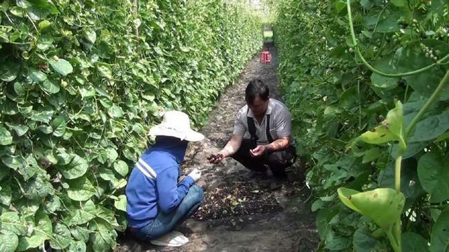 Long An: Trồng mồng tơi tốt um tùm, nông dân ở đây không hái lá mà tuốt hạt đem bán 200.000 đồng/kg