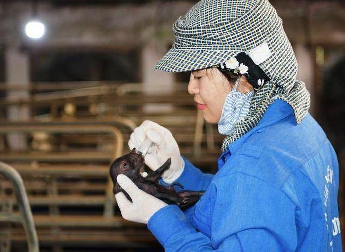Việt Nam nhân bản giống lợn Ỉ thành công