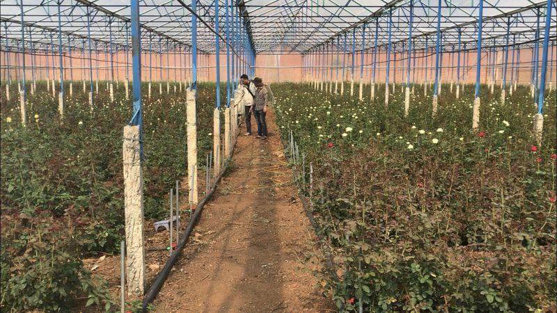 Chàng trai bỏ việc ở Nhật về quê trồng hoa hồng, thu nửa tỉ đồng mỗi năm