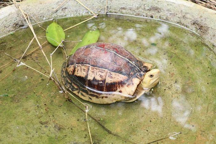 Vườn Quốc gia Cúc Phương chú trọng bảo tồn, cứu hộ, tái thả rùa