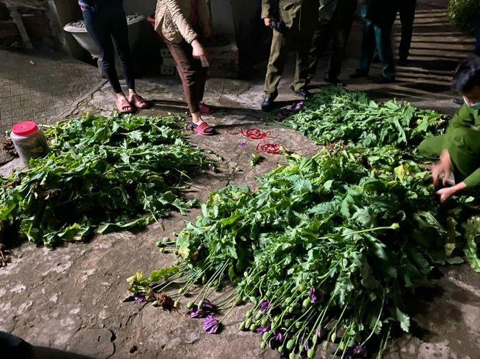 Bắc Giang: Kiểm tra, phát hiện nhiều hộ dân trồng cây thuốc phiện tại vườn