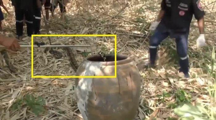 Kịch tính bắt hai con trăn dài gần 4 mét đang quấn lấy nhau
