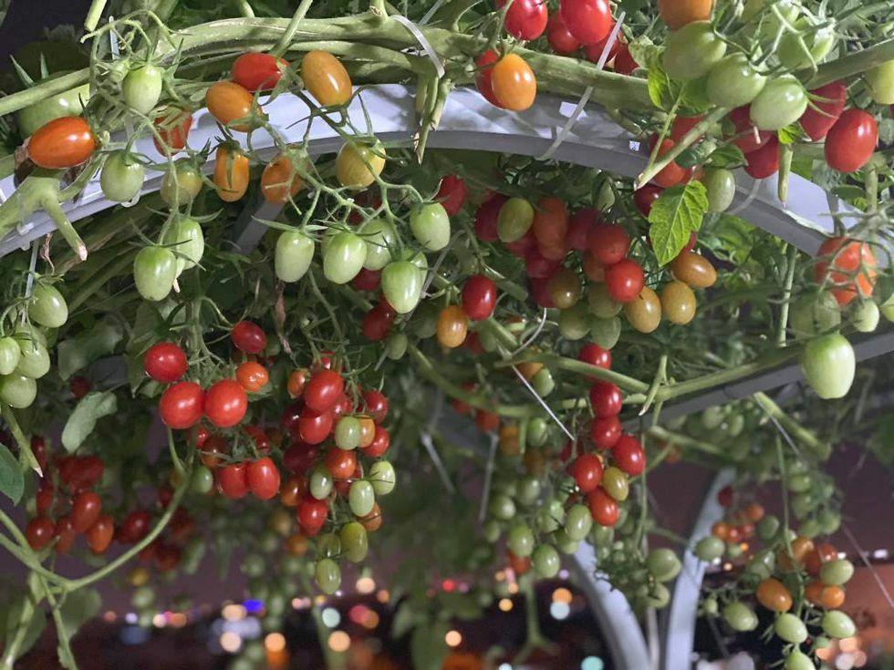 Cách trồng vườn cà chua sân thượng sai trĩu quả