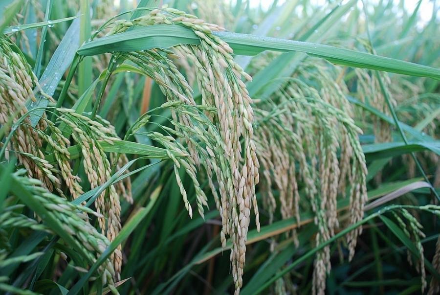 Giá lúa gạo hôm nay 11/3: Giá lúa gạo tiếp tục giảm sâu, thương lái bỏ cọc