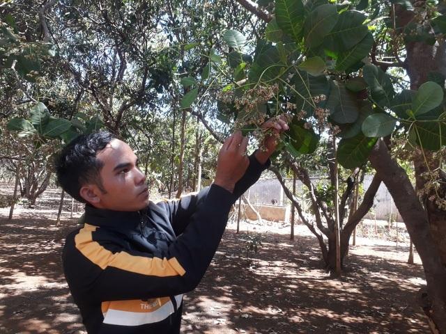 Điều ra hoa chậm, nông dân thấp thỏm lo năng suất giảm