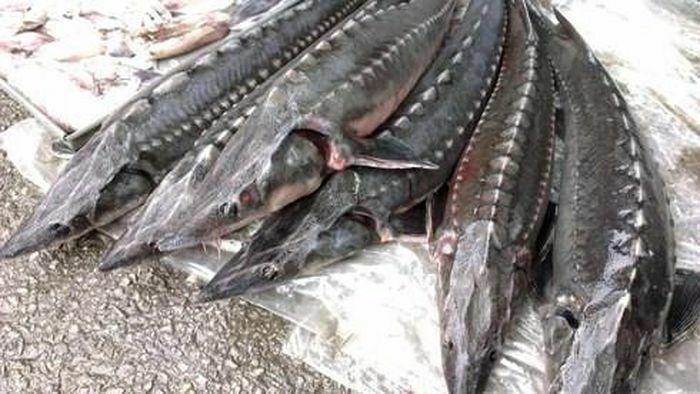 Bộ Công Thương siết chặt hành vi kinh doanh nhập khẩu cá tầm