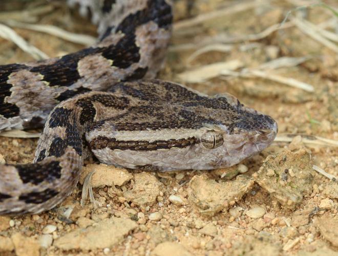 """Phát hiện đáng sợ: Trái Đất sẽ có loài chuột độc, có thể """"phun nọc độc"""" giống loài rắn"""