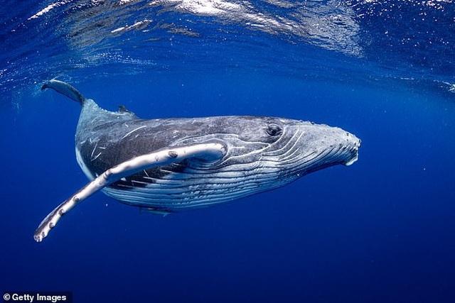 Cá voi tiến hóa từ loài động vật giống hươu, di chuyển bằng chân