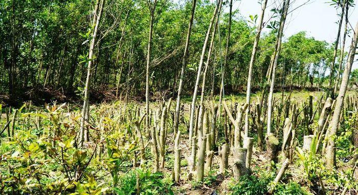 Đua nhau trồng cây phủ kín vườn chờ… đền bù ở TT-Huế