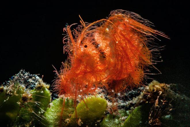 """Con ấu trùng nhỏ xíu mà trông như """"thủy quái"""" gớm ghiếc – Đúng là thế giới sinh vật trong lòng đại dương kỳ bí hơn chúng ta tưởng"""