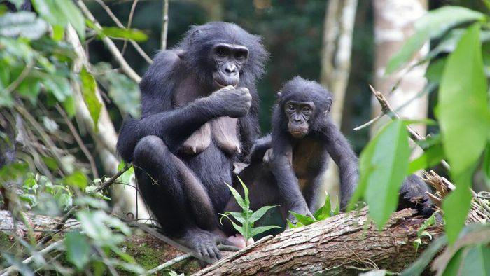 Lần đầu tiên ghi nhận loài tinh tinh lùn chăm sóc con nuôi