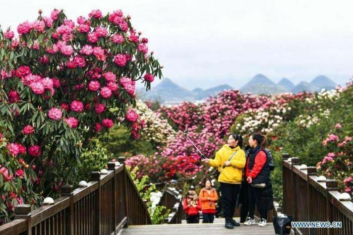 Chùm ảnh: Rừng hoa đỗ quyên rộng 120 km2 bung nở ở Quý Châu, Trung Quốc