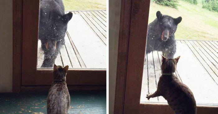 """Gấu hoang tò mò định lẻn vào nhà dân bị mèo cưng dọa cho chạy """"mất dép"""""""