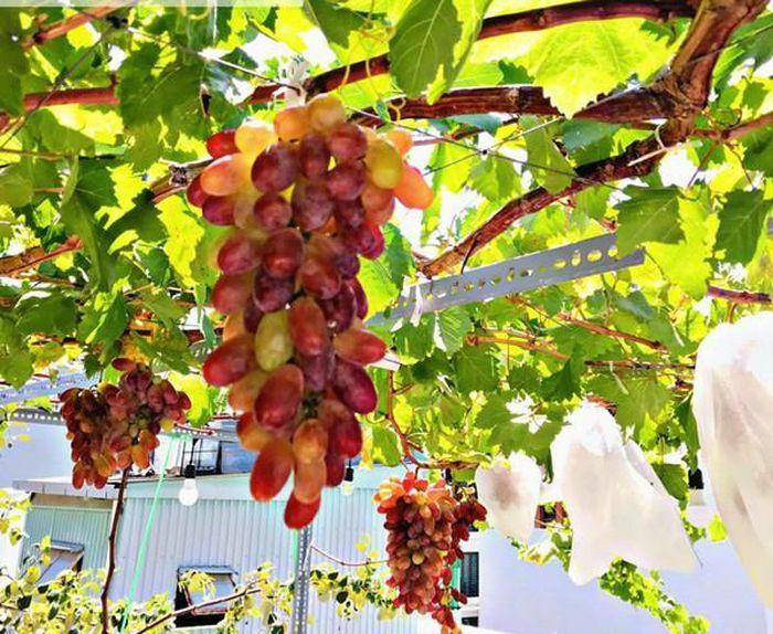 Mê tít những giàn nho trĩu quả trên sân thượng