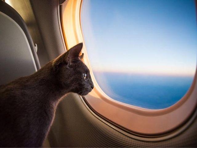 Hy hữu phi công bị mèo tấn công, máy bay hạ cánh khẩn cấp