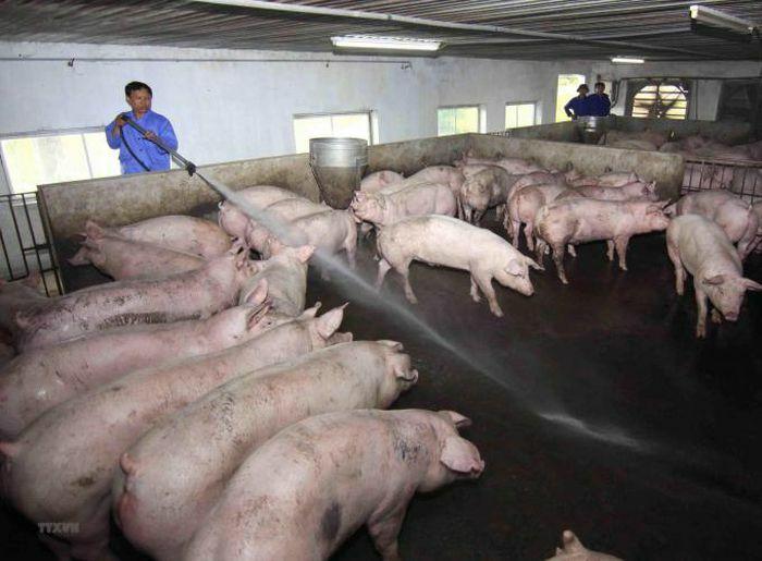 Bị chấm dứt hợp đồng, nhiều hộ chăn nuôi ở xã Cổ Đông kêu cứu