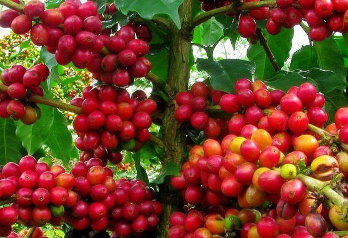 Giá cà phê hôm nay 17/3: Đồng loạt tăng mạnh, Arabica cao nhất 2 tuần qua, Robusta vượt 1.400 USD/tấn