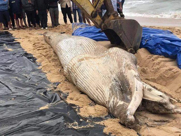 Cá voi nặng khoảng 2 tấn dạt vào bờ biển Quảng Bình
