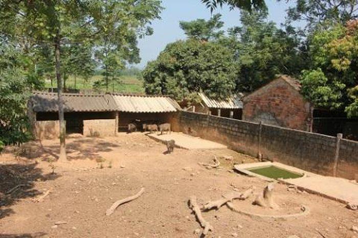 Trang trại lợn rừng sạch Nghệ An địa chỉ cung cấp con giống uy tín, tin cậy