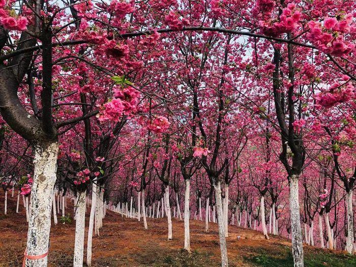 """Hoa anh đào """"bung nở"""" tuyệt đẹp ở các trường đại học Trung Quốc"""