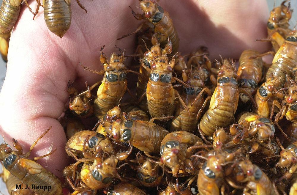 """Mỹ: Hàng tỷ con côn trùng """"đội mồ"""" chui lên sau 17 năm, """"tấn công"""" khắp 15 bang"""