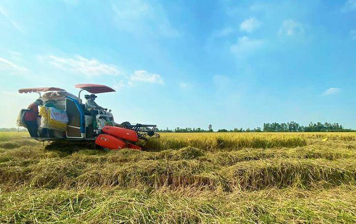 Giá lúa thu mua tại ruộng tiếp tục ở mức cao