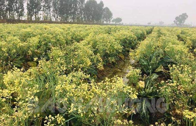 Ruộng su lơ nở hoa thu tiền triệu
