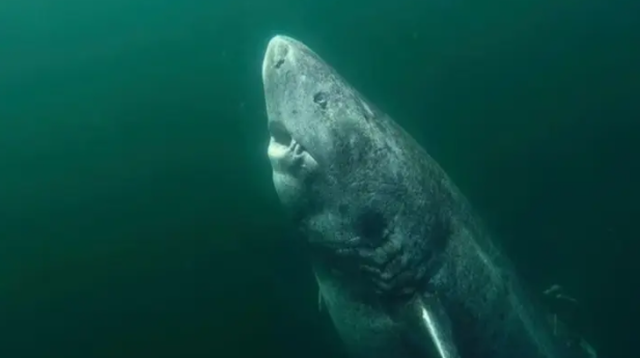 Tìm thấy con cá mập già nhất thế giới 397 tuổi