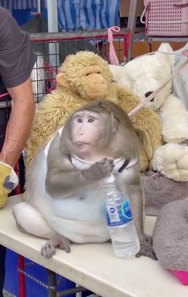 """Phơi mặt bán hàng cả ngày ở chợ, chú khỉ vẫn béo tròn, lộ """"bụng bia"""" trắng phếu vì lý do bất ngờ"""