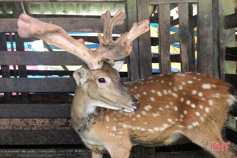 Hà Tĩnh: Nhiều người xôn xao đến xem con hươu có cặp nhung đột biến như bông hoa loa kèn, nặng 4kg