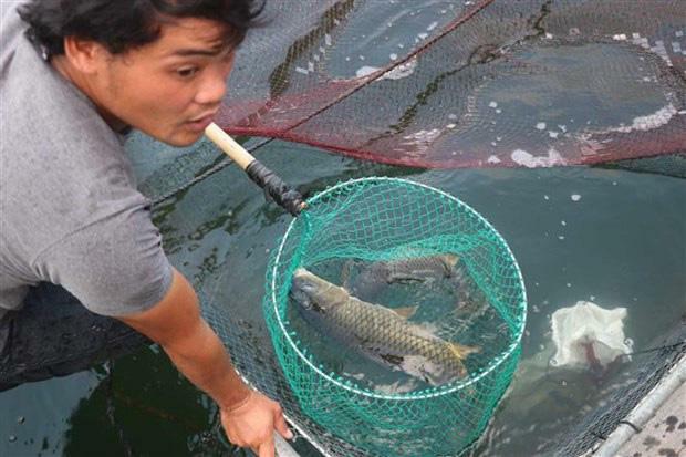 Bình Định: Nuôi cá kiểu lạ, ra giữa hồ nuôi vỗ giòn cá chép, ăn thịt sần sật, bán đắt gấp 3 lần cá thường
