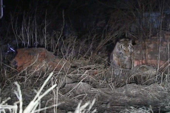 Hổ Siberia tấn công người trong ngôi làng ở Trung Quốc