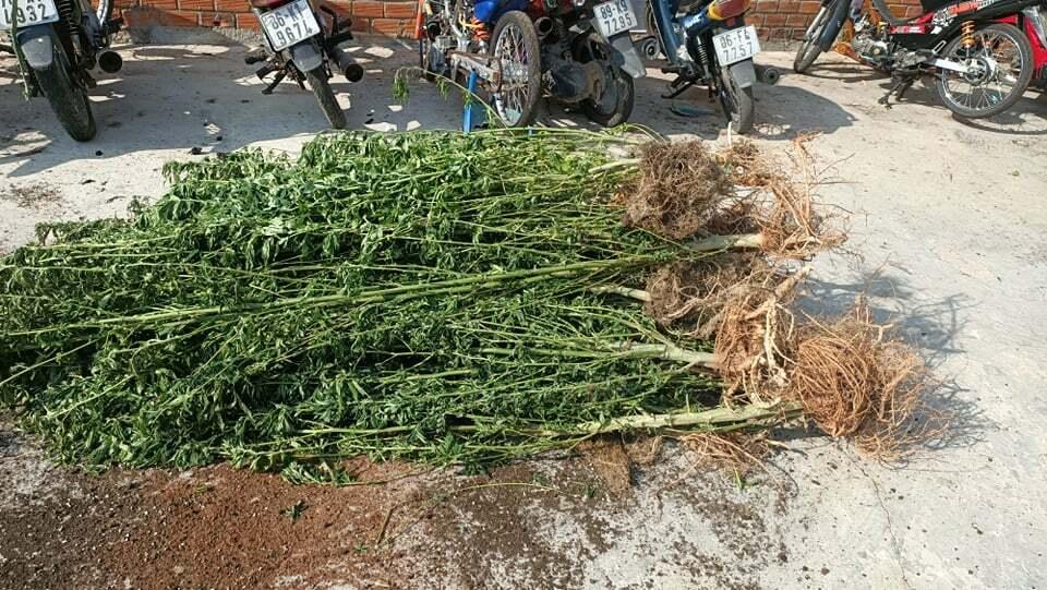 Người nước ngoài ở Bình Thuận trồng hơn 400 cây cần sa trong nhà