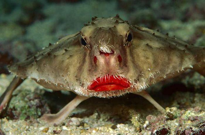 Cận cảnh loài cá dơi môi đỏ gợi cảm kỳ dị nhất hành tinh
