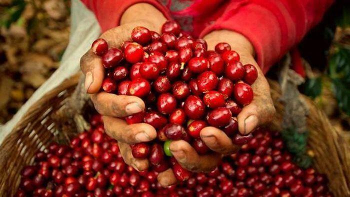 Giá cà phê hôm nay 21/4: Tiếp tục tăng 200 – 300 đồng/kg