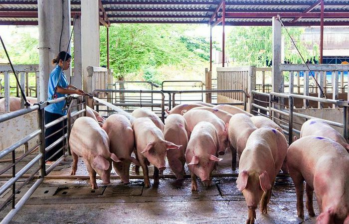 Giá lợn hơi hôm nay 7/4/2021: Dao động từ 73.000 – 77.000 đồng/kg