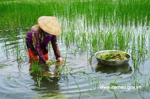 Cà Mau: Thứ rau dại xanh ngăn ngắt, mềm như bún mọc hoang ngoài đồng nước, dân đi hái không đủ mà bán