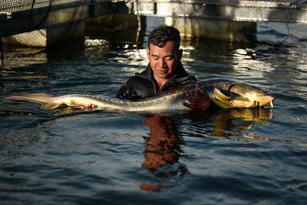 Nỗi khổ của người nuôi cá tầm và cá sấu