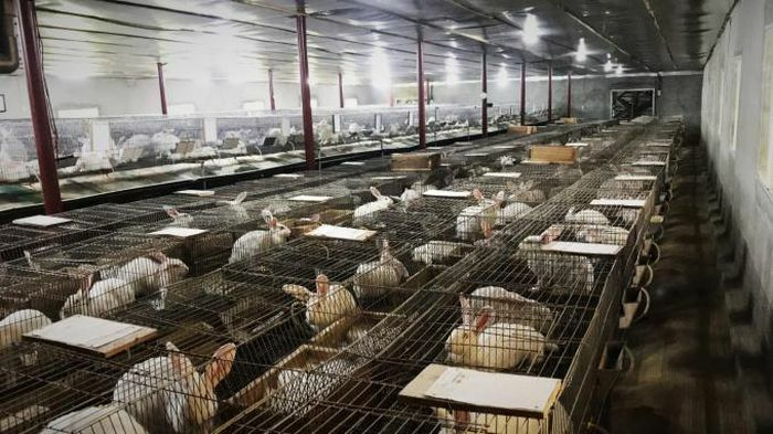 Đầu tư 1,2 tỷ đồng nuôi thỏ, lãi 400 triệu đồng/năm