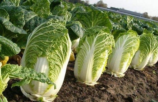 Loại rau cải nào vừa tốt cho gan vừa giúp giảm cân hiệu quả?