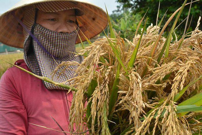 """Quảng Trị: Lúa mất mùa vì sâu bệnh, đừng để nông dân """"thiệt đơn, thiệt kép"""""""