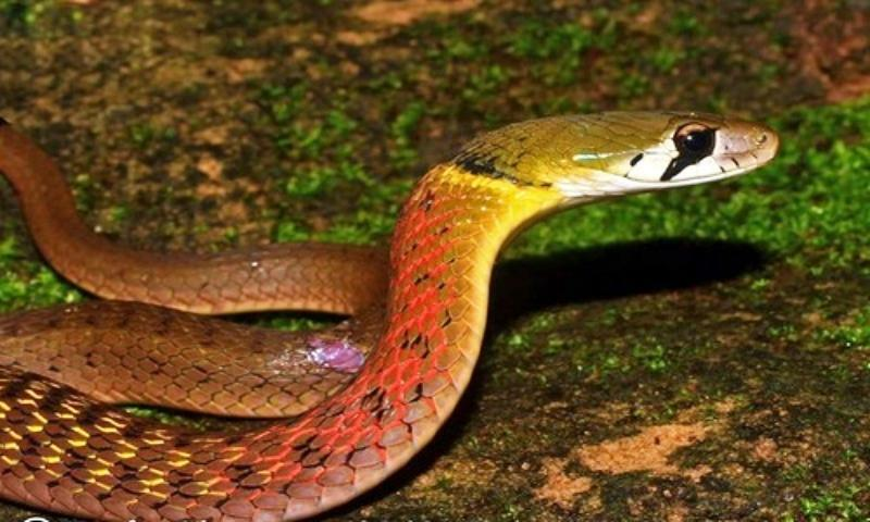 Bé 15 tháng bị rắn cắn tử vong, nhiều người u mê nuôi làm 'pet cưng'