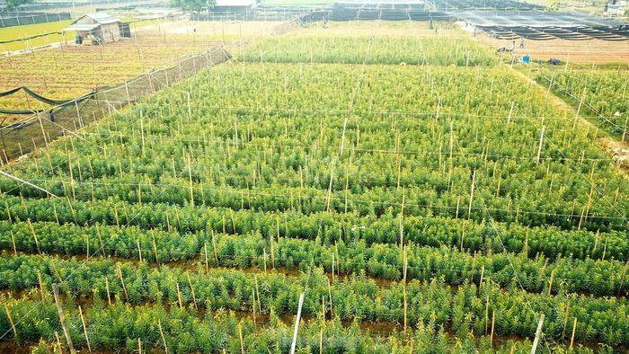 Mênh mông cánh đồng hoa loa kèn đang vào chính vụ ở Hà Nội