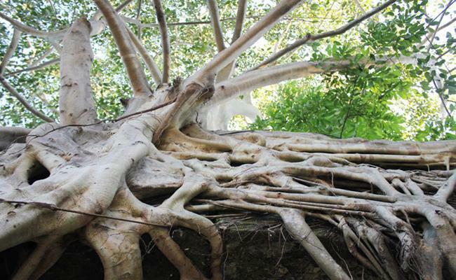 Những quái cây nhìn như củi khô mà giá hàng trăm triệu tới vài tỷ, nghe mà choáng
