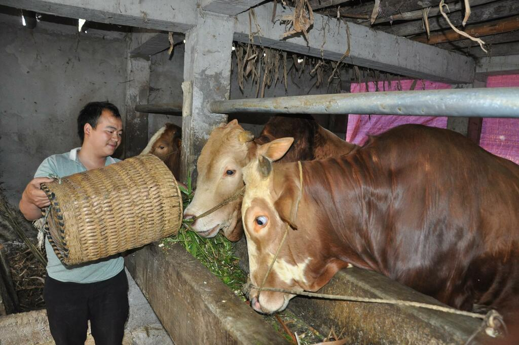 """Giá bò hơi hôm nay: Bò đẹp được giá cao, muốn dễ bán người nuôi phải biết """"mẹo"""" này"""