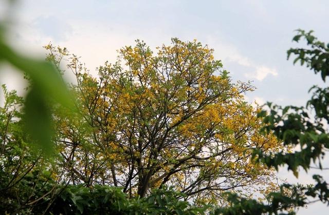 """Hoa lim xẹt nở vàng rực """"níu"""" chân du khách trên bán đảo Sơn Trà"""