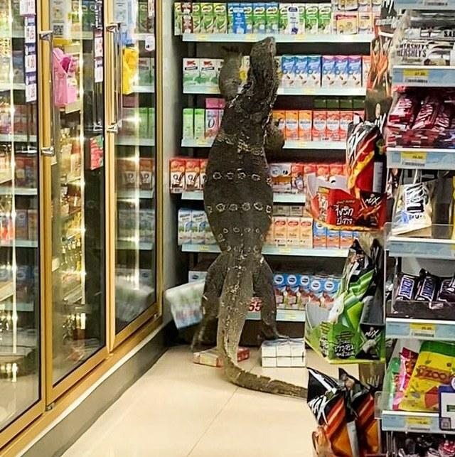 Vào cửa hàng mua đồ, khách hoảng hốt chứng kiến thằn lằn 1m8 đang lục lọi đồ ăn