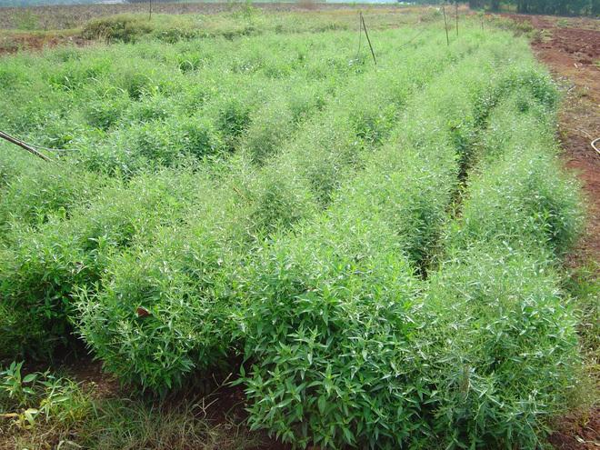 Loại thảo dược Thái Lan khẳng định chữa được Covid-19: Việt Nam cũng trồng nhiều