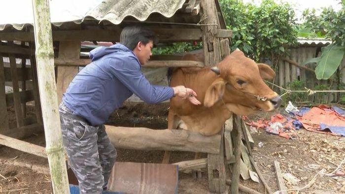 Minh Hóa: Phân bổ thêm 12 nghìn liều vắc xin phòng bệnh VDNC trên trâu, bò